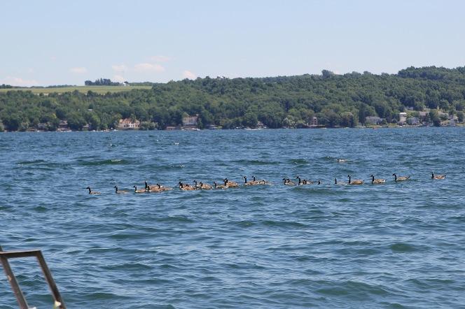summer geese